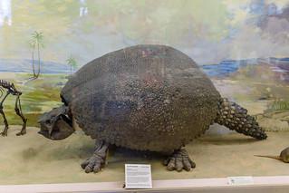 Glyptodont, extinct subfamily of large, heavily armored armadillos