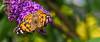 butterfly (Nik He) Tags: superzoom sigma18250 18250mm 18250 f8 iso200 schmetterling bunt orange gelb grün flower blume 700d eos canon butterfly
