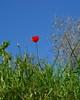 Papavero (giorgiorodano46) Tags: aprile2018 april 2018 giorgiorodano nikon papavero coquelicot poppy bomarzo italy lazio wildflower red green blue colors fioridicampo