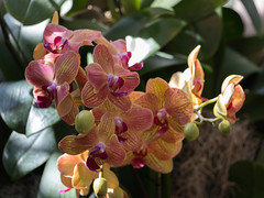 IMG_1235 (jaglazier) Tags: 2018 32418 botanicalgardens bronx greenhouses march newyork newyorkbotanicalgarden orchidshow orchidaceae striped usa copyright2018jamesaglazier flowers gardens orchids parks plants purple yellow bronxcounty unitedstates