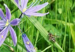 BeeFly (Wolfram Burner) Tags: mtpishgah mount pisgah arboretum bee indentification workshop eugene oregon insects hymenopter beetles arachnids augustjackson