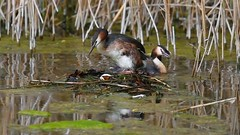 Great Crested Grebe Nest (CJH Natural) Tags: video gcg greatcrestedgrebe haubentaucher nest family incubate teamwork water pond lake reeds reedbed eggs nature wildlifephotography naturephotography light licht wild natur wildlife bird vogel avian birding birder birdwatching twitching twitcher rspb beauty beautiful lovely fantastic wonderful pose