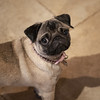 Betty. (miketonge) Tags: betty pug d850 dog