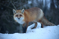 Red Fox in Snow (Tad 20D) Tags: redfox fox mammal colorado woods nature woodland wildlife wife dusk evening winter snow cold mountains fauna predator