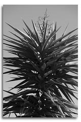 Yucca Flowering B&W (Bear Dale) Tags: d850 nikkor afs micro 105mm f28g ifed vr yucca flowering bw ulladulla south coast new wales australia