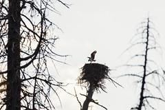 Gearing up for the saison (derliebewolf) Tags: adler greifvögel vögel wildlife eagle osprey fisheagle fischadler nesting feeding bif landing birding birdsinflight sunrise tree goldenhour aerie