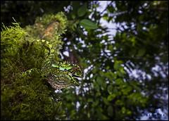 Enyalioides oshaughnessyi (Ana O.D.) Tags: reptile wildlife nature naturaleza reptiles iguana lagarto lizzard fauna canon 5dm4 tamron 1530 ecuador