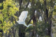 Great Egret - Loch Luna Game Reserve - Australia (wietsej) Tags: great egret loch luna game reserve australia sony rx10 iv rx10m4 bird nature