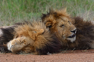 Already Thinking About Monday Like These Two... Two Male Lions of the Marsh Pride in the Masai Mara - 5876b+