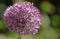 """In our garden, """"Allium"""" (Fred / Canon 70D) Tags: allium closeup canon70d canoneos canon eefde garden ef100mmf28lmacroisusm sierui bokeh"""