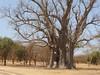 Baobab Tree, Senegal (RV Bob) Tags: tree baobab senegal panasonic pointandshoot