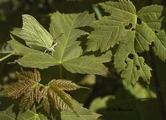 Citroenvlinder / Gonepteyx rhamni (m.ritmeester) Tags: ngc naturelovers natuur nederland zuidholland macro groen geel citroenvlinder