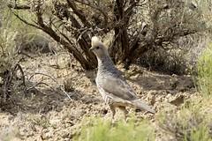 Scaled Quail - Chaco Canyon, NM (Zane Adams.TX) Tags: birds 2017 chacocanyon newmexico