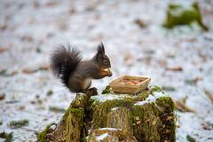 Posing for a second (Andriy Golovnya (redscorp)) Tags: squirrel hörnchen eichhörnchen eichhörnchenwald squirrelforest fischen allgäu bayern bavaria deutschland germany