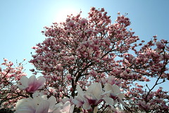 In full bloom (d-stop) Tags: dstop 2018 cherry blossom tree bloom blooming flowers pink daylight beautiful sunny bright nature outdoors canada ontario sarnia sigma816