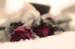 Roses in the snow (romanato roberto) Tags: romanato roberto nikon d7000 rosso rosa roses neve snow 50mm colors colour good experiment