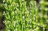 Pearly Dewdrops (Idreamofpies) Tags: green mares tail wed morning dew drops water bokeh chester cheshire garden loght texture pattern plant life stem hippuris vulgaris marestail common living fossil