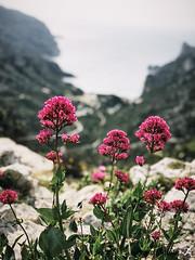 Sormiou Floral mai 2018 -  19 (akunamatata) Tags: sormiou floral balade mai 2018 parc des calanques park provence fleurs flowers sentier sciatique