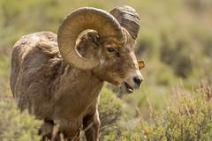Ramblin' Man (ChicagoBob46) Tags: rockymountainbighornsheep bighornsheep sheep yellowstone yellowstonenationalpark nature wildlife coth coth5 ngc npc