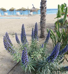 The Beach Blues! ('cosmicgirl1960' NEW CANON CAMERA) Tags: flowers worldflowers parks gardens marbella spain espana andalusia costadelsol tropical exotic nature green yabbadabbadoo travel holidays