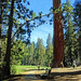 Big Tree Trail and Round Meadow, Sequoia NP 5-18