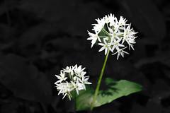 Bärlauch Allium ursinum (Meine Sicht auf diese Welt...) Tags: ngc knoblauch bärlauch gobert eichsfeld allium ursinum hintergrund macro wald sony a77 ii 18135