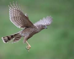 "Sparrowhawk (female) (coopsphotomad) Tags: sparrowhawk hawk ""bird prey"" raptor bird predator wild native woodland canon flight fly prey predate bokeh british brown green outdoor"