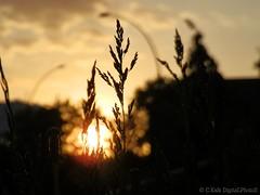 Bokeh Sunset (C.Kalk DigitaLPhotoS) Tags: sunset sonnenuntergang bokeh macro macrophotography makro abends evening golden plant pflanze orange yellow silhouette photo photography beautiful outdoor sunsetporn