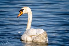 Zwaan (Jaap Mechielsen) Tags: bird zwaan meinerswijk fauna natuurgebied animal dier naturereserve swan vogel arnhem gelderland nederland nl
