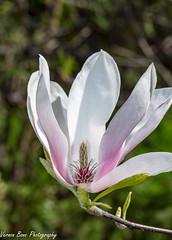 Magnolia (vernonbone) Tags: 2018 backyard february flower leaves lens macro magnoliaflower may nikond3200 sigma105mm tree colors outside