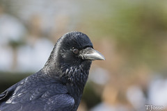 20180211_Vincennes_Corneille noire (thadeus72) Tags: aves birds carrioncrow corneillenoire corvidae corvidés corvuscorone oiseaux passériformes