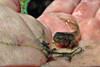 New legs (TJ Gehling) Tags: amphibian frog tadpole polyfrog chorusfrog pacificchorusfrog pacifictreefrog pseudacris pseudacrisregilla pond canyontrailpark elcerrito