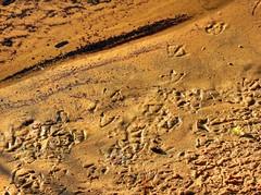 Duck prints! (elphweb) Tags: hdr highdynamicrange nsw australia sand beach duckprints ducktracks duck