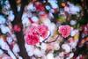 ILCE-7M2-09703-20180514-1831 // Vivitar VMC Auto 55mm 1:1.4 (Tomioka) (Otattemita) Tags: 55mmf14 florafauna vivitarcosina vivitartomioka vivitarvmc vivitarvmcauto55mmf14 fauna flora flower nature plant wildlife vivitarvmcauto55mm114tomioka sonyilce7m2 ilce7m2 sony cnaturalbnatural 55mm