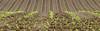 young maize (klaus.huppertz) Tags: kirchhausen landschaft landscape acker feld field pflanze flora plant mais zea zeamays maize corn nikon nikond850 d850 nikkor 200mm 200mmf4dmicro spring frühjahr