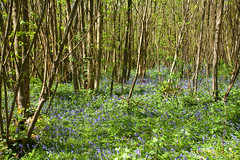 Woodland Spring Floor.. (Adam Swaine) Tags: bluebells woodland woodlandfloor flora flowers wildflowers trees woods nature tranquil naturesfinest england english kent seasons spring springinkent canon counties countryside uk ukcounties rural ruralkent
