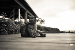 猫 (fumi*23) Tags: ilce7rm3 sony 35mm sonnartfe35mmf28za sel35f28z cat chat gato neko a7r3 bw feline zeiss ねこ 猫 桜島 鹿児島 クリーム調 bokeh sakurajima kagoshima