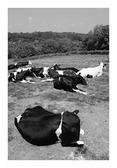 Au repos... (DavidB1977) Tags: france picardie hautsdefrance gerberoy fujifilm x100f monochrome bw nb vaches animaux oise