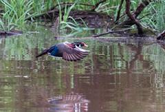 Wood Duck-1 (Lee J2) Tags: woodduck peacevalleypark buckscounty pennsylvania reflection