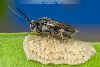 Moth Parasite