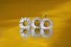 Golden daisy (Xtraphoto) Tags: art kunst photoart three drei spiegelung mirror reflection flower blume gänseblümchen daisy golden