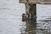 Impressive Survival (Tedj1939) Tags: birds indianriver nature wildlife owls eagles gulls wadding shorebirds ducks pelicans