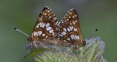 Duke of Burgundy Mating1 (Garry1968) Tags: duke burgundy butterflies wildlife dorset