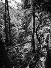 I danni dell'inverno (fotomie2009) Tags: monochrome monocromo bw bn forest bosco trees alberi canalone spring primavera segno liguria ligure paesaggio scape landscape green italy italia
