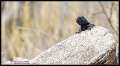 _03A7071 Wild Chuckwalla ©Dancing Snake Nature Photography (Dancing Snake Nature Photography) Tags: arizona nature photography dancingsnakenaturephotography reptiles lizards chuckwalla phoenix