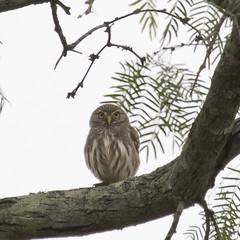 Ferruginous Pygmy-Owl - Glaucidium brasilianum (Dave Boltz) Tags: birds texas canon7dmarkii nature outdoors wildlife ferruginouspygmyowl glaucidiumbrasilianum owl ferruginous pygmy