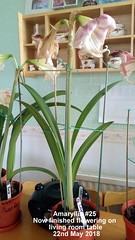 Amaryllis #25 Now finished flowering on living room table 22nd May 2018 (D@viD_2.011) Tags: amaryllis 25 now finished flowering living room table 22nd may 2018