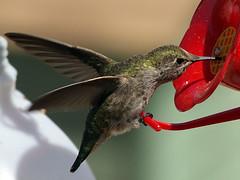 Frozen Wings (Muzzlehatch) Tags: california forest fire hummingbird olympus 2006 lookout zuiko angelesnationalforest e500 zd 40150mm muzzlehatch inttag
