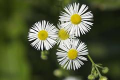 Hiding (Hoot Owl) Tags: flowers summer yellow four weed bokeh trinity daisy hiding wildflower plusone