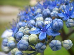 Bokeh (noahg.) Tags: flower macro bokeh hydrangea specnature sanyoc6 noahbulgaria